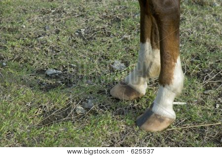 Horse's Two Front Feet