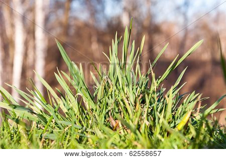Clump Of Spring, Green Grass