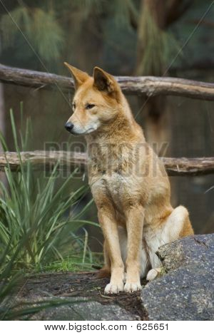 Dingo sentado