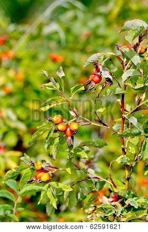 Rosehip Berries On A Bush