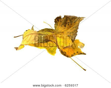 Some Autumn Leaves Of A Tree