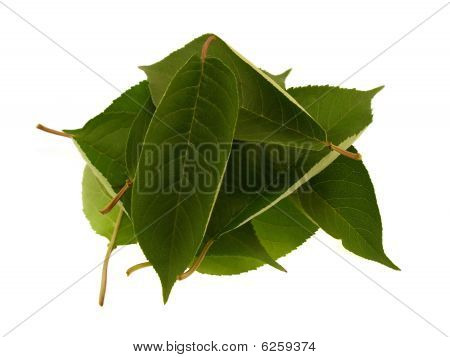 Some Green Beautiful Leaves