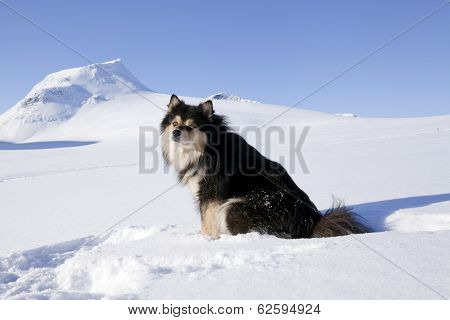 The Finnish Lapphund in it´s habitats, biotope.