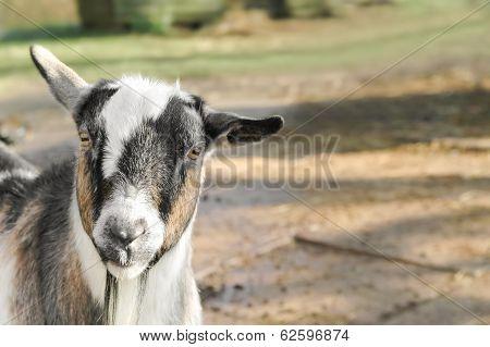 Farmyard Goat
