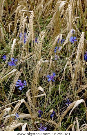 grain and cornflower
