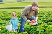 foto of strawberry blonde  - father and little boy of 3 years on organic strawberry farm in summer picking berries - JPG