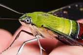 stock photo of hawk  - Close up of pellucid hawk moth or greenish hyaline hawk moth  - JPG