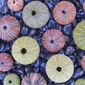 colorful sea urchins on black pebles beach