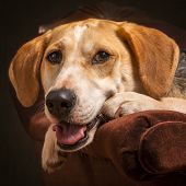picture of foxhound  - Foxhound beagle cross American dog posing in an armchair - JPG