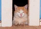 White and ginger tomcat looking through barn doors at the viewer