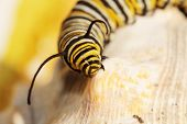 "stock photo of monarch  - A Genuine Monarch Butterfly Caterpillar ""Danaus plexippus"" sits on a sea shell in the sun.