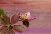 picture of helleborus  - Pink Christmas rose Hellebore niger flowers on dark purple orange background - JPG