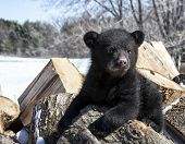 foto of bear cub  - A playful - JPG