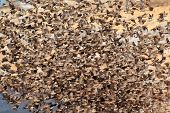 Dense flock of red-billed Queleas (Quelea quelea), Etosha National Park, Namibia