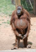 picture of zoo animals  - Orangutan begging for a treat at the zoo - JPG