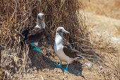 picture of blue footed booby  - Family portrait of Blue - JPG