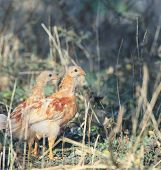 two of young chicken standing in field