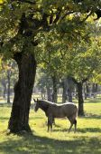 stock photo of lipizzaner  - Grey horse in nature under the tree - JPG