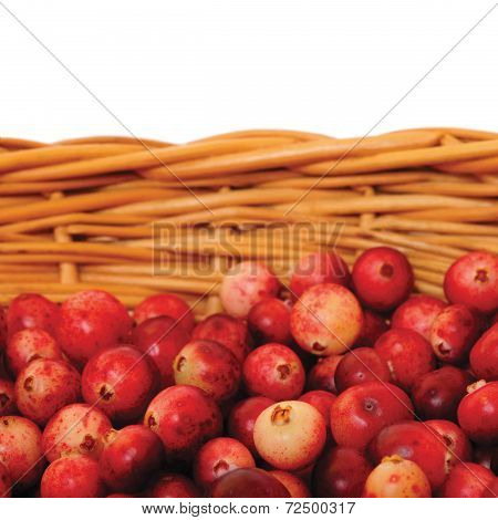 Fresh Mountain Cranberries Isolated Vaccinium Vitis-idaea Cowberry Basket Large Detailed Rhodococcum