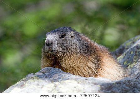 Alpine Marmot (marmota Marmota)