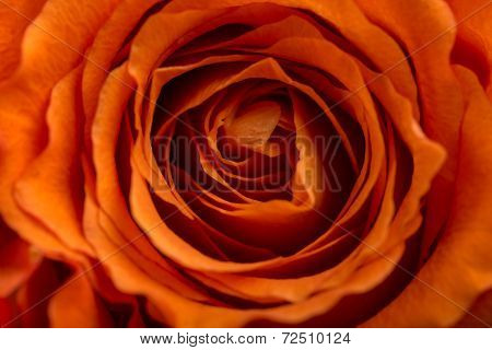 Romantic Orange Rose