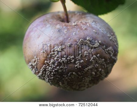 Rotten Fruit Apple