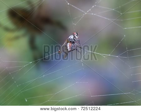 Fly In Cobweb