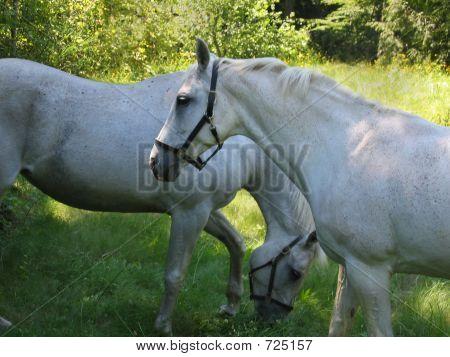Two White Horses