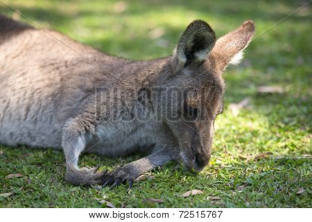 Kangaroo outside