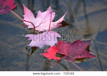 Red Maple Leaves On A Water