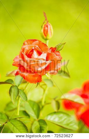 Red Rose In Chiangmai Thailand