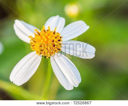 Closeup white Grass Flower