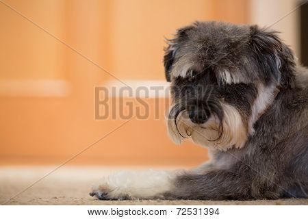 Small Dog Lying On Floor And Looking At Camera