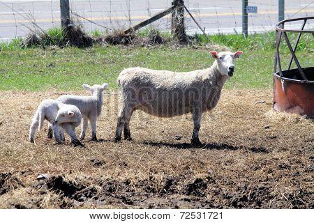 Sheep (Ewe and Lambs)