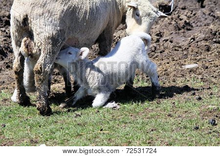 Sheep (Ewe & Lambs)