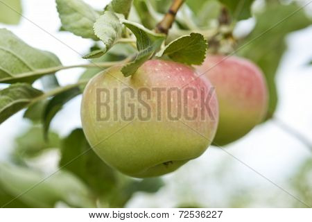 Apples Growing In The Tree