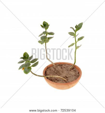 Kalanchoe in a clay pot. House plant in a clay pot isolated over white background