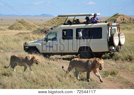 tourists in a car looking a lion