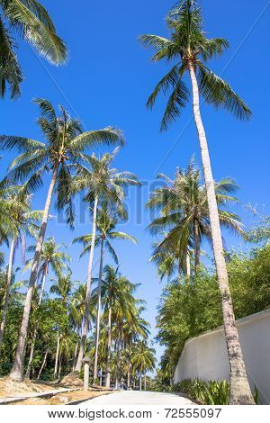 Coconut Plam Tree