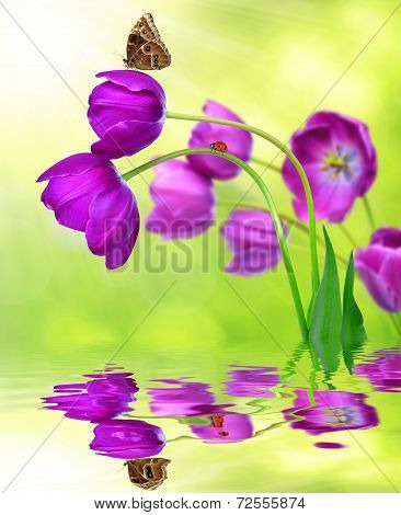 fresh purple tulips