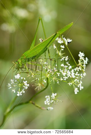 Large green grasshopper sitting on plant