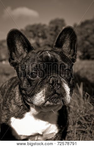 French buldog in field,sepia