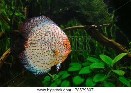 Full display discus fish in a planted environment