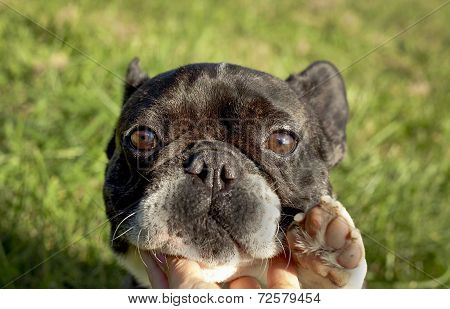 French bulldog against green background with paw up