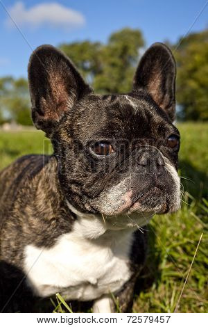French Bulldog in grassy field