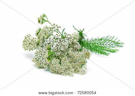 Yarrow Plant Closeup On A White Background