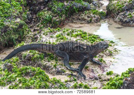 Walking Galapagos Marine Iguanas. Galapagos