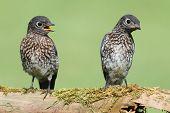 picture of bluebird  - Baby Eastern Bluebirds  - JPG