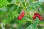 picture of mulberry  - Close up of fresh mulberry on tree - JPG