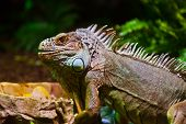 picture of terrarium  - Big iguana lizard in terrarium  - JPG